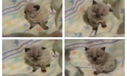 Purebred Himalayan kittens (2) - born Jan 31, 2015....Will be ready for Easter....mom is a Seal Point and dad a Blue Point...both my pets...kittens will not have papers...but will be litter trained, eating solid food, socialized with other cats, large
