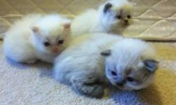 1 male seal point 2 female seal points 1 female lilac 2 male cream or flame points Kittens born Sept 1st will be ready Oct 27th Kittens will come with first set of shots and vet check!