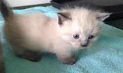 Himalayan/Ragdoll Kittens?(Just 1 Left) White female. Mom is Tortie Pt Ragdoll and dad is Blue Pt Himalayan?both purebred and both my pets?kittens born May 23 and will be 8 weeks July 18th.. Kittens will be litter trained, eating well, socialized with