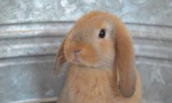 We are a small, family owned rabbitry, located in Wyoming county NY. We specialize in both Mini, and Holland lop bunnies, with unique colors and great dispositions. Show quality with pedigree, and pet bunnies available! Please visit our website to see our