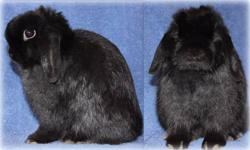 We have several Holland Lop rabbits available as pets, show or herd: black doe 3 months old smoke pearl marten buck 1 year and 4 months tort buck 11 months tort buck 1 year broken black buck 5 months Each rabbit is fully pedigreed and has no genetic