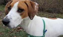 Hound - Bailey - Large - Adult - Female - Dog Bailey was returned to the shelter due to normal puppy behaviors and challenges like lots of energy and a lack of impulse control. She is a good girl, and deserves to be given a second chance at happiness, and