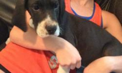 Huey is a sweet half euro mantle puppy. He is ready for his new loving family. He has a full collar and loves everyone. All puppies are family raised in our home and very socialized. Parents are oliving family members. Excellent lineage. They are up to