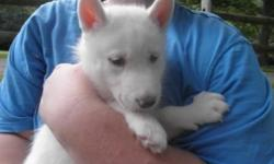 Husky - Storm - Medium - Young - Female - Dog CHARACTERISTICS: Breed: Husky Size: Medium Petfinder ID: 29976016 ADDITIONAL INFO: Pet has been spayed/neutered CONTACT: Elmira Animal Shelter | Elmira, NY | 607-737-5767 For additional information, reply to
