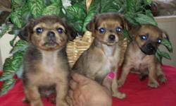 Very tiny... Mom is mini Doxie Dad tiny tcup chihuahua Shots...wormed Papertrained And cratetrained Ready to go :)