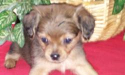 Very tiny... Mom is mini Doxie Dad tiny tcup chihuahua Only 1 baby left! Little boy. . Shots...wormed Papertrained And cratetrained Ready to go :)