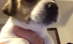 Hello, are you or a loved one looking for a beautiful puppy? Then you've come to the right place jack Russel puppies are the best puppies, ever! Yes, there is a re homing fee. Can you really put a price on a loved one? 4 girls 1 boy * A small rehomming