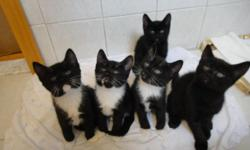 The ideal GIFT. We've got four healthy kittens. They was born on Aug.28.2014 four female. We are looking for their warm and cozy home. Where they will have love and attention. They are very affectionate and playful, love to be around people! They all