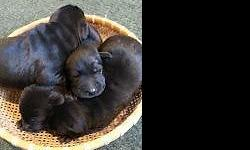 Cute and lovable purebred Lab puppies born on April 4th. The parents are both family pets, the mother is a beautiful ACA registered chocolate lab which is well-trained and sociable. The father is an AKC registered yellow lab. You have a choice of 1