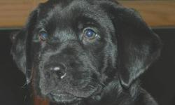 Labrador Retriever - Littlefoot ~pending~ - Large - Baby Note that in most cases the breed determinations are just an educated guess. Because these are rescued dogs we don't usually know who the parents are. PLEASE MAKE SURE YOU ARE WILLING TO MAKE A