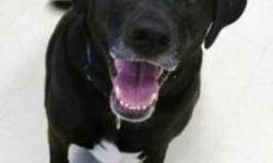 Labrador Retriever - Misty - Medium - Adult - Female - Dog Happy-go-lucky Misty, a 4-year-old Lab/Collie mix, wants to be everyone?s friend! She was surrendered to our shelter when her previous owner?s health declined and they could no longer care for