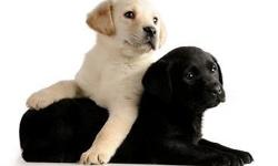 Call 585-298-7919 to learn more - Yellow and Black Labrador Retriever Puppies, AKC, Quality English lines. Excellent health, temperament and lines. These puppies will be a great representation of the English Labrador breed possessing the eager to please