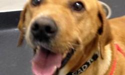 Labrador Retriever - Scruffy - Medium - Adult - Male - Dog Scruffy is a classically handsome (and typically goofy!) lab. He is a whole lot of bouncy, happy, lab-y fun. Scruffy came to us when his previous owner could no longer care for him. Scruffy loves
