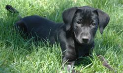Labrador Retriever - Sherman ~pending~ - Large - Baby - Male Note that in most cases the breed determinations are just an educated guess. Because these are rescued dogs we don't usually know who the parents are. PLEASE MAKE SURE YOU ARE WILLING TO MAKE A