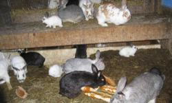 I have had quite the response to my ad and at this time most my young rabbits are on hold for a Canadian buyer, but I have a few I could let go now. I am leaving the ad up as I have several bred does and new litters arriving daily. If you wish to reserve