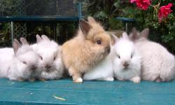 Cute Baby Lionhead Bunnies gray brown and white only 5.00 each call 845-750-6542