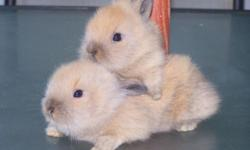 Baby Lionhead Bunny for sale only 1-brown one left, call now ready for pick-up today 06/29/14, only 10.00 each call 845-750-6542