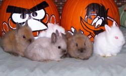 Cute Lionhead Bunnies Gray, White, and Brown to choose from ready for pick-up end of November, after Thanksgiving call now and reserve your bunny and color choice at 845-750-6542 only 10.00 each!.
