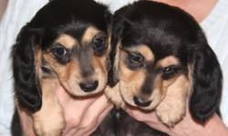 "Absolutely adorable little masked, mini Dachshund ""bandits"" ready to steal your heart away! Two males and two females ready to go to their forever homes on April 19th. Price at $550.00 each, they come with AKC registration (with spay/neuter contract), a"