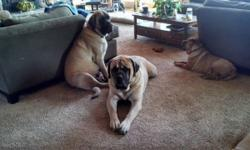 i am looking for an akc reg english mastiff female puppy or young adult..prefer ofa cert.with large boned parents.i would like to purchase on a co owner contract.i plan on showing a little bit and breeding her at least once to my daughters gorgeous 210 lb