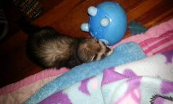 Beautiful n friendly n loves to cuddle ferret she is seven months n she is spayed n descented..was my kids but they pay no attention to her any more n I feel she deserves someone who would give her time n love cause she is such a playful baby who loves to