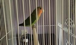 Lovebird Peach face 4 months old not free you have to pick it up This ad was posted with the eBay Classifieds mobile app.