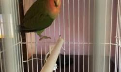 Lovebird peach face young 4 months old male This ad was posted with the eBay Classifieds mobile app.