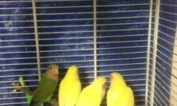 Lovebirds for sale In Long Island Email or text for more info This ad was posted with the eBay Classifieds mobile app.