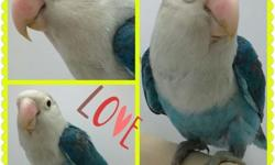 For sale green peach faced lovebirds around 9 months of age males and females available $50 each text or email for more info 6318875165 This ad was posted with the eBay Classifieds mobile app.