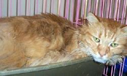 Maine Coon - Spike - Large - Adult - Male - Cat Spike is Coras sibling. They are together in the shelter. Spike did not want to have anything to do with anyone from day one. However, in the past 8-10 weeks, Spike has decided that he likes to be pet and