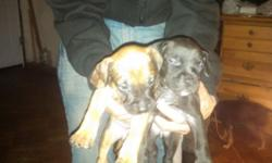 5 make blue nose razor back Chinaman make pups ready to go asap. Please Call 5852810006