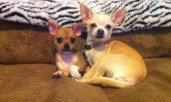 I am not a breeder I bred my beautiful chihuahua with another sweet boy who has the same great temperament as her ! He is absolutely adorable and will make someone very happy ! Use to kids and other pets. Please call me for any other questions