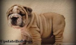 "UpstateBulldogs has been established since 2006. We strive to provide top quality bulldogs in our area for families to love. We are all about preserving the breed, preserving that ""special"" line, and bettering the breed. All pups are UTD on all shots &"