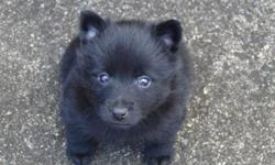 Hello fellow dog lovers!!! We are NOT BREEDERS and need help re-homing our family pet Schipperke puppies. About us: We all dog lovers and love our pets very much. We have 3 Schipperke dogs (love the breed), the two youngest are not fixed in hopes to have