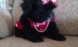 Malshi female and male puppy gorgeous baby doll faces beautiful thick coats. They are 1/2 Maltese and 1/2 Shihtzu they look like a black maltese they will come with health certificate shots wormed and a gift bag with food toys blanket ect. Willing to meet