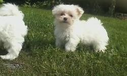 AKC reg.maltese,male vet ckd,shots and dewormed,great personality,very of nice coat,6/7 lbs full grown,(pd00302) Akc reg.additional.price listed is for pet only.