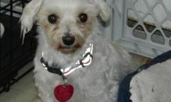 Maltese - Bridget ~gentle And Shy~ - Small - Adult - Female It happened last night...I had let the puppy mill dogs out about 4 a.m. to go potty and was snuggled in bed when I heard a scuffling sound. I turned on the nightlight to find Bridget playing with