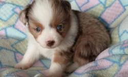 Maltese/Mini Aussie puppy-- 1 male- 1 female born on March 2nd, 2015 1st shot and 2 wormings small, mature weight will probably be 6-9 pounds Mom is 15/16 Maltese, 1/16 Bichon (white) about 6- 7 inches tall and about 7-8 pounds Dad is AKC/CKC toy Mini