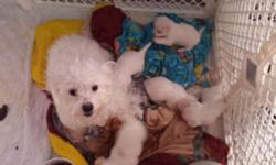 Gorgeous Maltese puppies 3 boys & 2 girls White with apricot marking First shots Dewormed Puppy pad trained Born 2/27/15 Ready for new homes on 4/27/15 Super sweet, adorable and smart