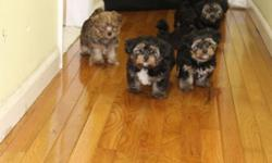 Maltese/Yorkie mix puppies for sale. These pups are cute and full of personality. They were born on 5/26/2016 and will be ready for their new homes next week. These pups will be up to date on all shots and de-wormed before going to their new homes. Now