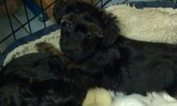 Malti poo pup all shots playful crate trained moving must see