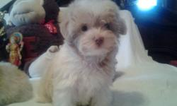 Malti poo pups all shots Lap size wormed playful loving all colors well socialized males and Females 585-351- 7473 or 270-4953