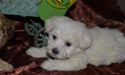 Maltipoo puppy has first shots and been dewormed. 375.00. 6073450666