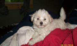 one male puppy available hes 8 weeks vet visted health papers first shots with vet records, dew claws removed weekly dewormed STRICTLY house raised right..... hes got a 10 lb mini poodle mom & 10 lb maltese dad both best dispsotion & quality here to
