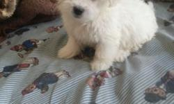 Cute maltipoo puppies for sale 8 weeks old