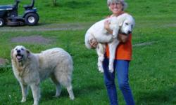 MAREMMA LIVESTOCK GUARDIAN PUPPIES! Maremmas ARE NOT Pets they are working farm animals! Your farm or ranch will be protected 24/7 THEY ARE PREDATOR CONTROL... They stay on guard all night so you can sleep They don't want to live in the house... They