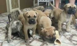 3 female mastiff puppies price reduced for holidays . These girls are 4 different mastiffs in one they are neo, french, English, and bull mastiff combined