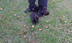 These pups are 4 different mastiffs in one. ...great family dogs good with other dogs/cats ... loves children...they are 9 weeks old paper trained and ready to go to good homes.... males are $350 females $450 ... please contact me at 585-820-8314... stacy