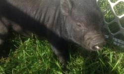 Micro pigs for sale!! 4 males and 1 female...males are $800 and females are $1000. All Jens Pig Barn pigs come lease and litter trained, fixed and given all necessary immunizations!!! You can visit my website at www.jenspigbarn.com or my Facebook page