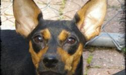 IMPS Miniature Pinscher Rescue has two 10 month old, and several weanling puppies available for adoption. All are females. Autumn is a sweetheart, she has a beautiful face with big erect ears and a black & tan coat. She likes to cuddle for long periods of